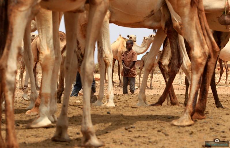'Galkayo Camels' - by Thomas Mukoya, Kenya.